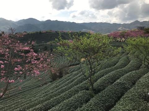 永福台品樱花茶园旅游景点图片